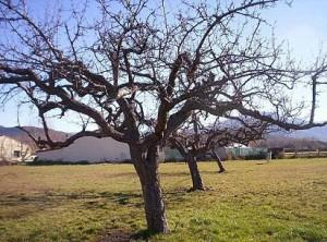 manzano-invierno