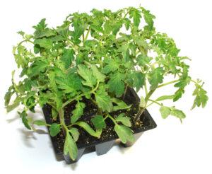 plantel-tomate