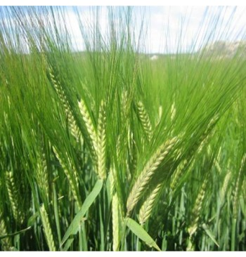 Centeno ecológico (Secale cereale) 5kg