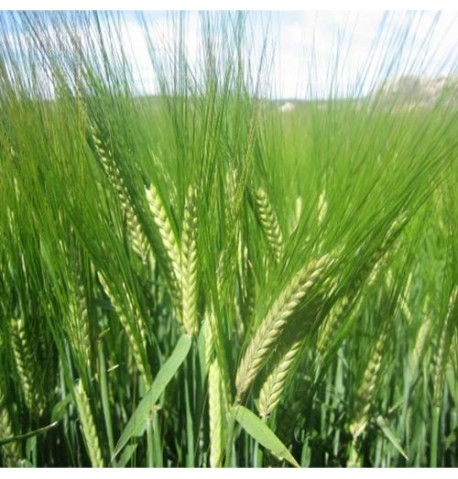 Centeno ecológico (semillas para siembra)