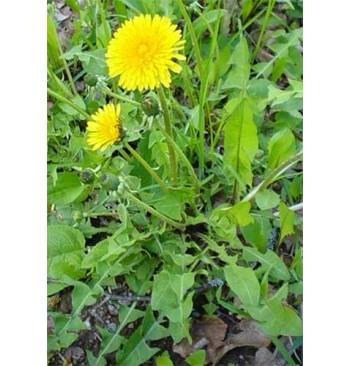 Diente de león (Taraxacum officinalis)