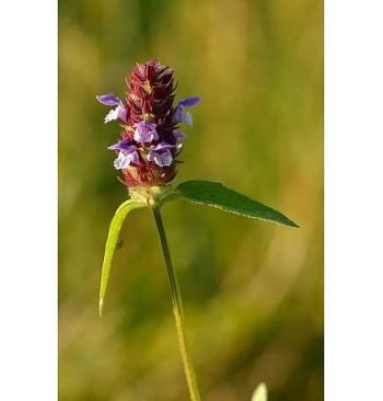 Consuelda menor (Prunella vulgaris)