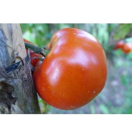 Tomate palosanto