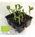 Plantel leguminosas